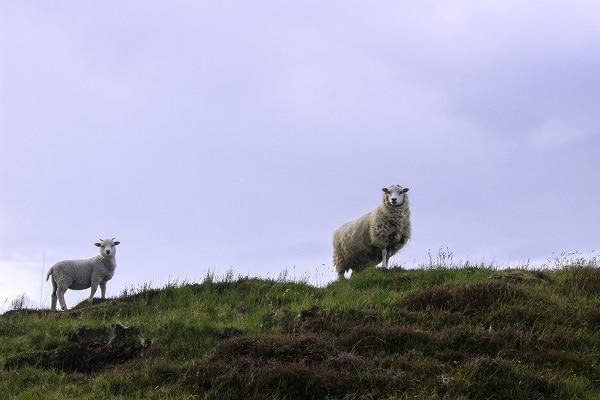 sheep in shetland isles